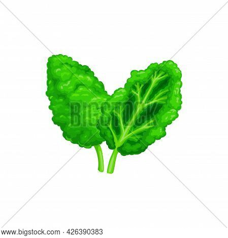 Common Sorrel Or Garden Sorrel Rumex Acetosa Isolated. Vector Spinach Dock And Narrow-leaved Dock. G