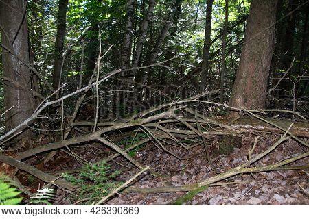 Undergrowth In Wild Forest In Quebec, Canada