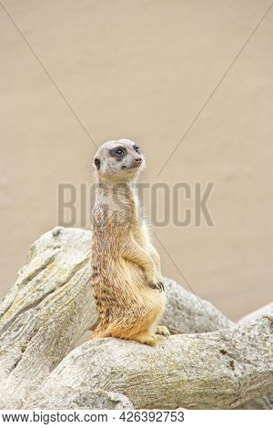 Meerkat Is Standing. Wary Rodent Stands On Hind Legs