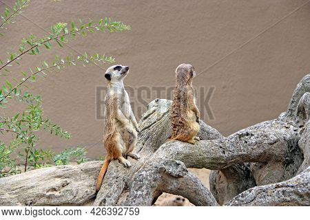 Meerkats Standing. Wary Rodents Standing On Hind Legs