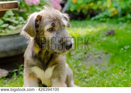 Three Month Old Irish Wolfhound In The Garden.the Puppy Of Breed Dog Rests On A Green Grass.majestic