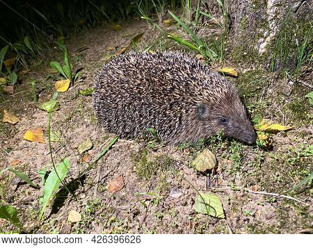 A Cute Hedgehog From The Hedgehog Family Erinaceidae Went For A Night Walk In Search Of Food
