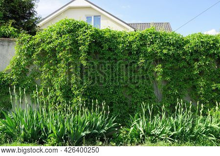 Gray Concrete Wall Fence Overgrown With Green Vegetation And Grass In The Street