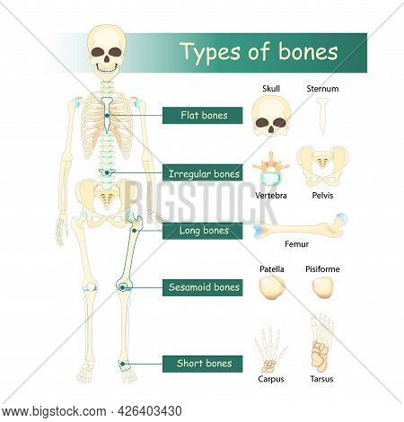 Bones Types Of Human Skeleton: Flat, Long, Short, Sesamoid And Irregular Bone. Classification Of Bon