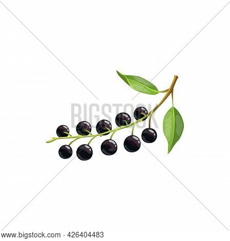 Bird Cherry Berry Fruit Isolated Bunch With Ripe Black Berries And Green Leaves. Vector Botanical Ha