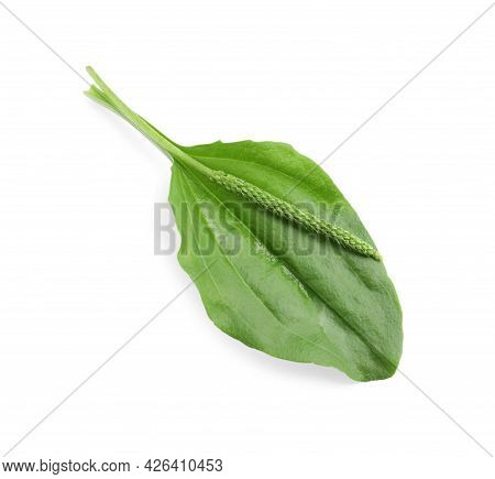 Green Broadleaf Plantain Leaf And Seeds On White Background, Top View