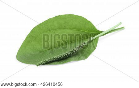 Green Broadleaf Plantain Leaf And Seeds On White Background