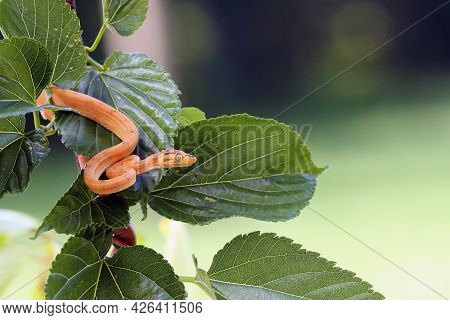 Corallus Hortulana Or Corallus Enydris, A Young Snake On A Tree With A Green Background. Young Boa S