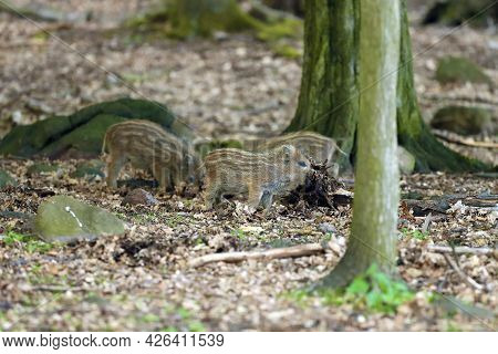 The Wild Boar (sus Scrofa), Also Known As The Wild Swine Or Eurasian Wild Pig, Young Piglet In The F