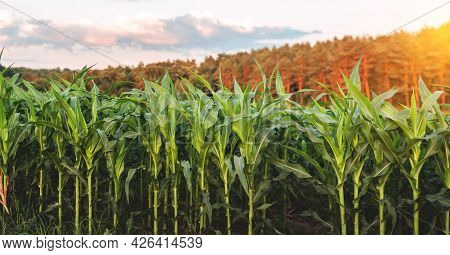 Corn Agriculture. Green Nature. Rural Field On Farm Land In Summer. Plant Growth. Farming Scene. Out