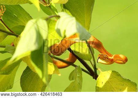 The Amazon Tree Boa (corallus Hortulanus) Hanging From The Green Branch. Golden Snake On The Green B