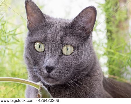 Close-up Of A Cat Of The Gray Blue Breed Looking Distantly To The Side. Behind The Blurred Green Bac