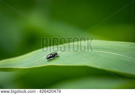 Fly On Leaf. Calliphoridae. Blow Flies, Blow-flies, Carrion Flies, Bluebottles, Greenbottles, Or Clu