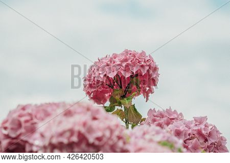 Pink And Purple Hydrangea Flowers Blooming In Spring And Summer In A Garden. Hydrangea Macrophylla.