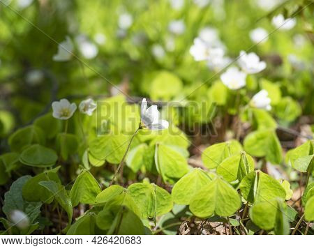 Close-up Of A White Oxalis Flower Blooming In Spring In The Park. Green Leaves, Blurred Background.