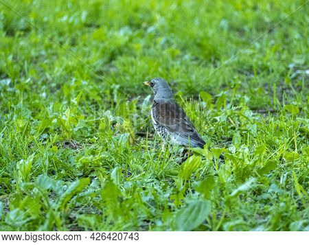 Close-up Of A Bird, A Blackbird, A Mountain Ash Walking On The Green Grass In The Summer In The Park