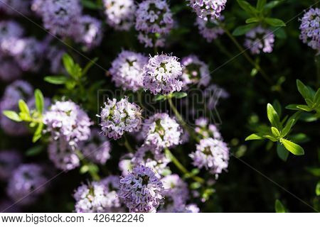 The Savory Satureja Hortensis A Delicious Kitchen Herb