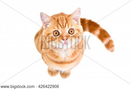 Cute Little Kitten Scottish Straight Looking Up Sitting Isolated On White Background Top View