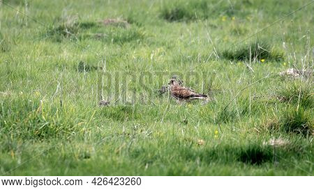 A Solitary Kestrel, Bird Of Prey, On The Ground In Grass