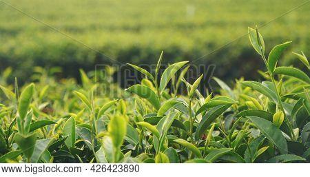 Green Tea Tree Fresh Leaves In Eco Herbal Farm. Tree Tea Plantations In Morning Sun Light. Freshness