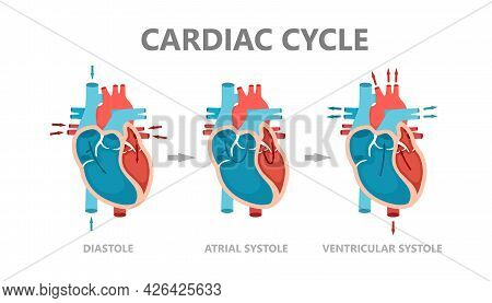 Phases Of The Cardiac Cycle - Diastole, Atrial Systole And Atrial Diastole. Circulation Of Blood Thr
