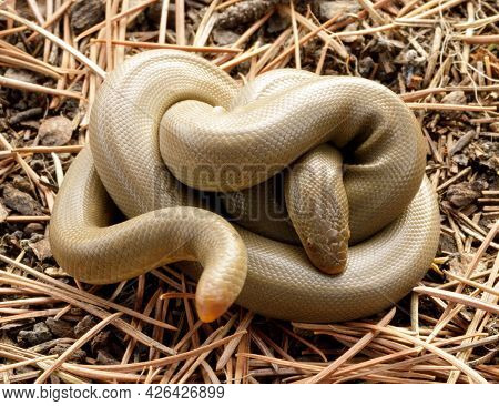 Coiled Forest Sharp-tailed Snake. Henry Cowell Redwoods State Park, Santa Cruz County, California, U