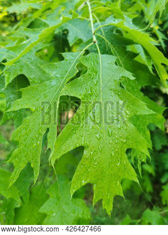 Clean Fresh Green Leaves On The Tree With Waterdrops After Rain