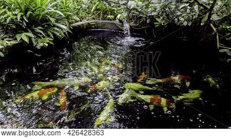 Colorful Crap Fish Under Water, Fancy Crap Fish Pond For Beauty And Relaxation In Green Garden