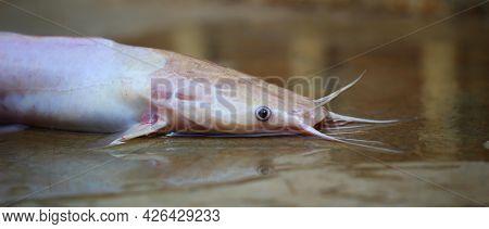 White Albino Clarias Magur Walking Catfish Laying On Ground