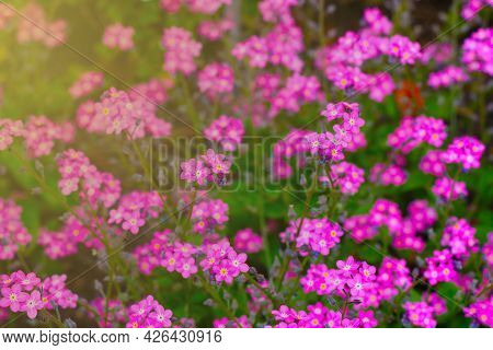 Beautiful Perennial Pink Flowers Bloom In A Clearing In Summer