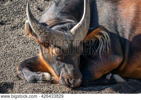 Red Buffalo, Syncerus Caffer Nanus, Congo Buffalo Or Dwarf Buffalo