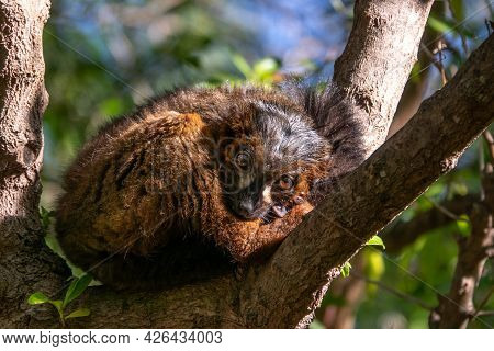 Red-bellied Lemur - Eulemur Rubriventer, Rainforest Madagascar Primate