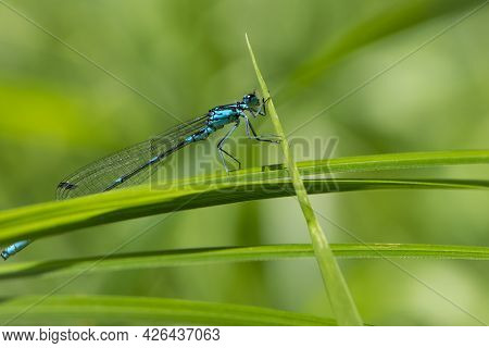 Coenagrionidae. Blue Dragonfly On A Green Leaf. A Dragonfly With Big Eyes Close-up Sits On A Green L