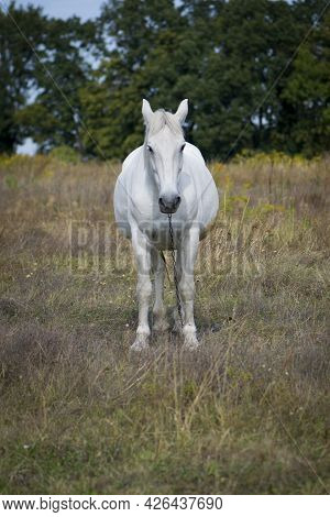 Beautiful White Horse On Dry Grass In The Field. Arabian Horse, Front View, White Horse Stands In An