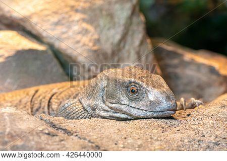 Savannah Monitor (varanus Exanthematicus)