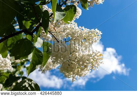 A Branch Of White Lilacs On A Tree In A Park Against A Background Of Blue Sky. White Lilac Blooms Be