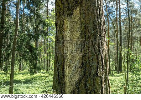 Traces And Notches On The Tree Trunk After Harvesting Pine Resin