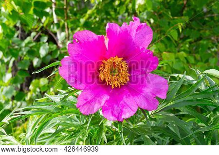 Pink Peony Paeonia Anomala Or Maryin Root Against Green Foliage In The Summer Garden. Wild Simple Pe