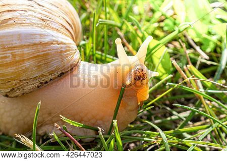 Portrait Of Beige Achatina Or Giant African Land Snail Against Blurred Green Grass Background. Side