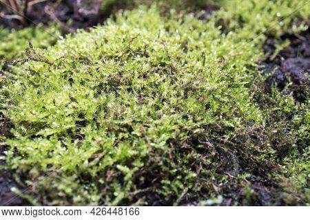 Micranthemum Sp.