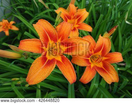 Hemerocallis lilenik is a genus of plants of the Lilaynikov family Asphodelaceae. Beautiful orange l