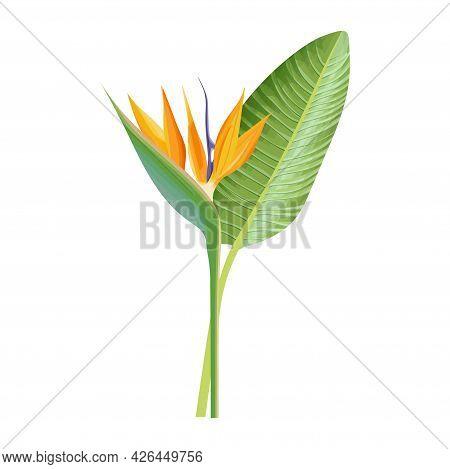 Strelitzia Reginae Flower. Green Leaf, Orange And Violet Blossom. Tropical Plant Crane Flower Or Bir