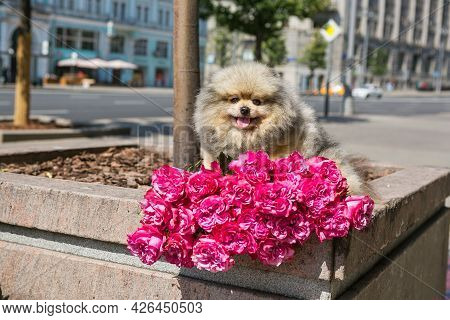 Pomeranian Puppy And A Large Bouquet Of Roses