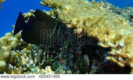 Red Sea Sailfin Tang Or Desjardin\'s Sailfin Tang, Indian Sail-fin Surgeonfish (zebrasoma Desjardini