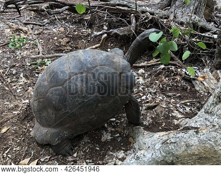 Aldabra Giant Tortoise Or Aldabrachelys Gigantea, Part Of A Small Colony That Can Be Visited On Chan