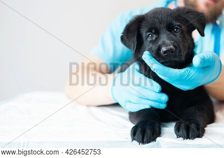 Two Cute Fluffy German Shepherd Puppy On Veterinarians Hands. Vet Examines The Dog. Banner With Copy