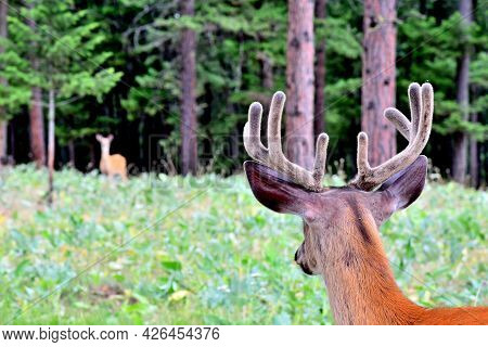 White Tail Buck, Looking At A White Tail Doe, Bitterroot Mountains, Montana.