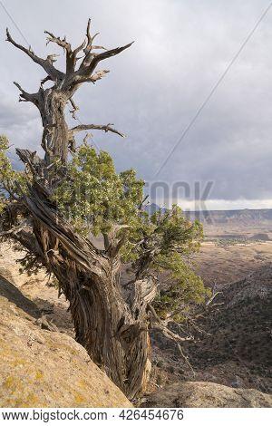 Dry Tree On Top Of A Sandstone Mountain At Hurricane Mesa, Utah
