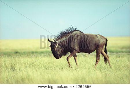 Antilope Gnu