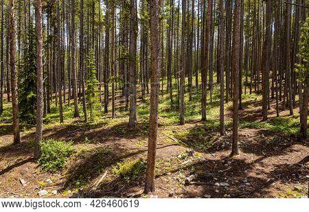 Pine Tree Forest Near Sawmill Reservoir, Breckenridge, Colorado